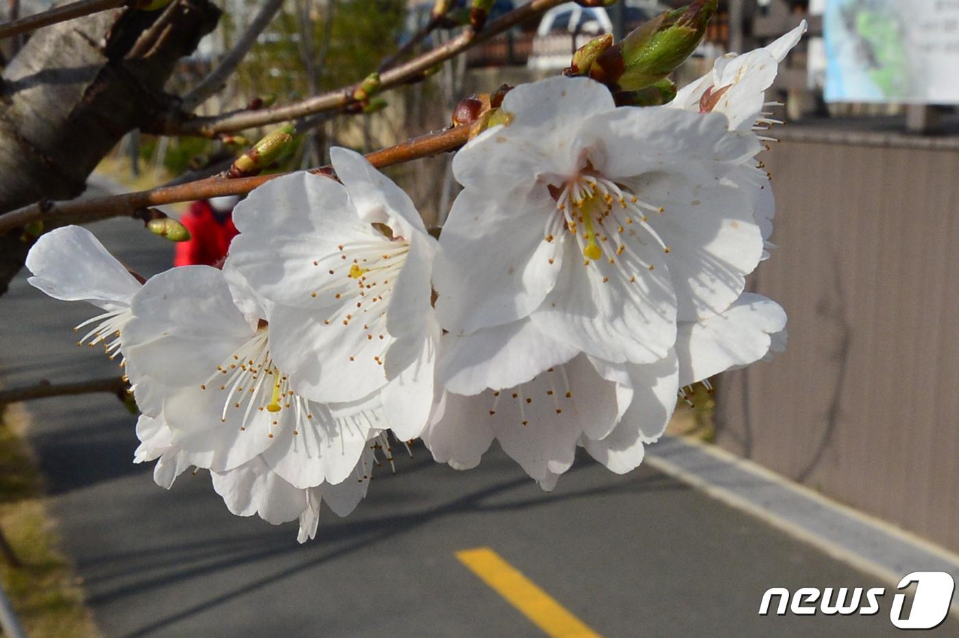 【韓国】 王桜の花が咲きました[03/19] ->画像>17枚