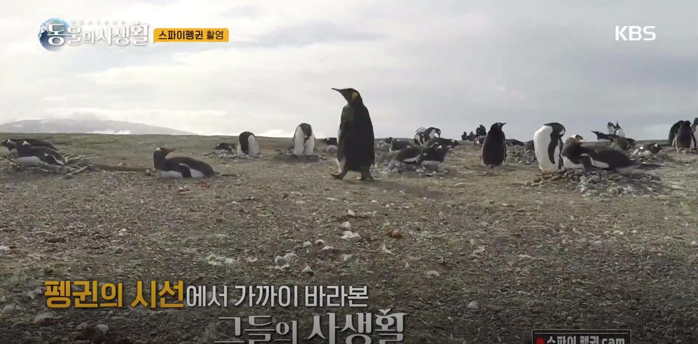 [은밀하고 위대한 동물의 사생활] 로봇펭귄 '귄귄이'의 실전 투입...펭귄 무리 속에서 촬영한 은밀한 일상