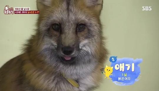 '동물농장' 멸종위기 1급 붉은여우, 사모예드와 절친된 사연