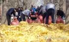 춘천 남이섬에 뿌려진 송파구 은행잎…늦가을 정취 물씬