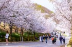 비발디파크, `2019 벚꽃 축제` 내달 6~14일 개최