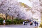 비발디파크 '2019 벚꽃축제' 4월 6일 개최