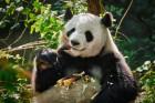 잃어버린 대나무숲…2천 마리 자이언트판다의 눈물