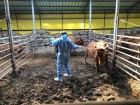방역사 1명당 가축 91만마리…무너지는 살처분 '최후의 방어선'