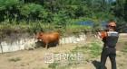 길가던 80대 어르신, 도축장 탈출한 황소에 들이받쳐 부상