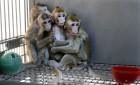 유전자 편집으로 '우울증' 갖고 복제된 원숭이 5마리