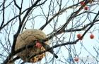 오래된 감나무가 베푸는 상생