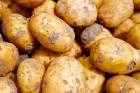 유전자변형 감자 식탁위협···'GMO 완전표시제' 공약 실종