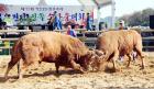 전국 최고 싸움소들, 내달 13~19일 보은서 격돌