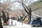 노점상 없어진 '울산 작천정 벚꽃축제'에 또다른 '특혜 논란'