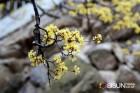 3월의 막바지 구례여행 산수유꽃축제