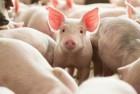 기해년 (己亥年) 설 특집 미친 존재감 뽐내는 게임 속 돼지들