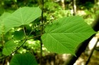 지속적으로 계속되는 만성피로 피로회복에는 간에 좋은 음식 벌나무 도움